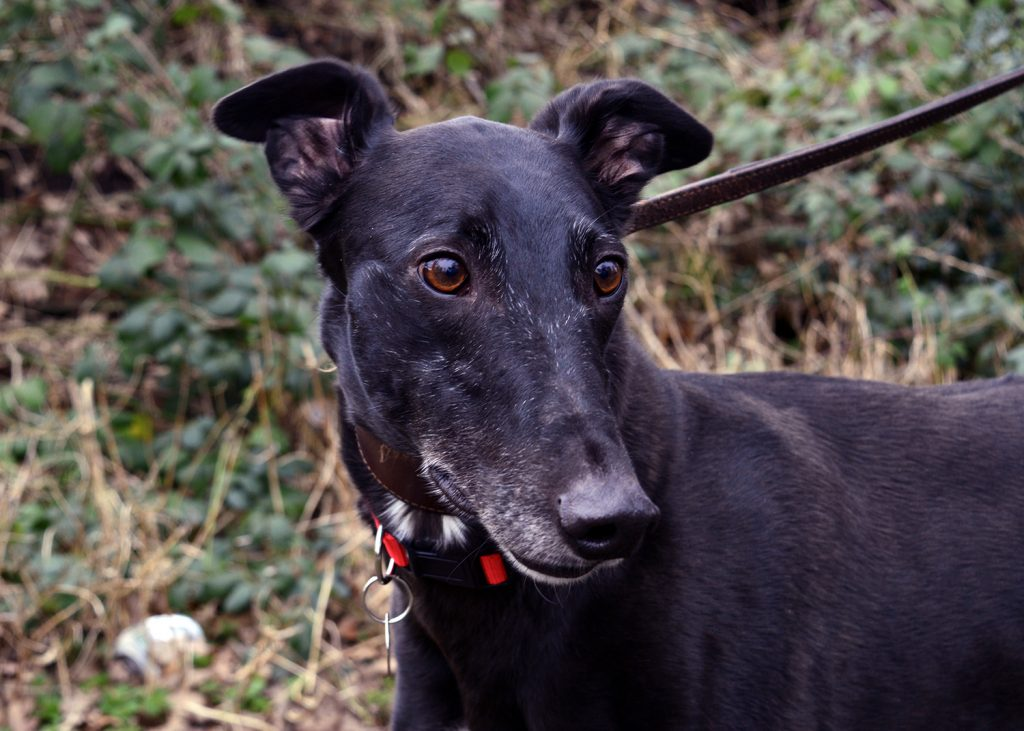 Joey - Hound of the Month